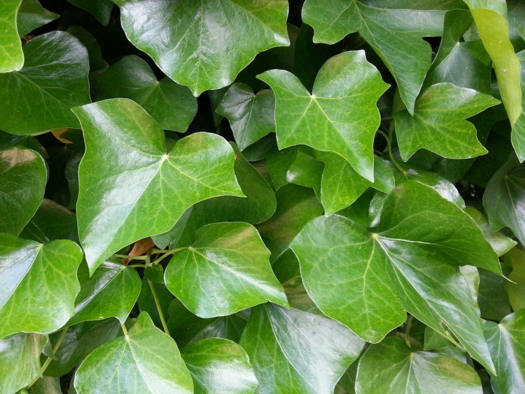 Kletterpflanzen Ohne Haftwurzeln