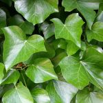 Bunter Sichtschutz: Kletterpflanzen für Balkon und Garten
