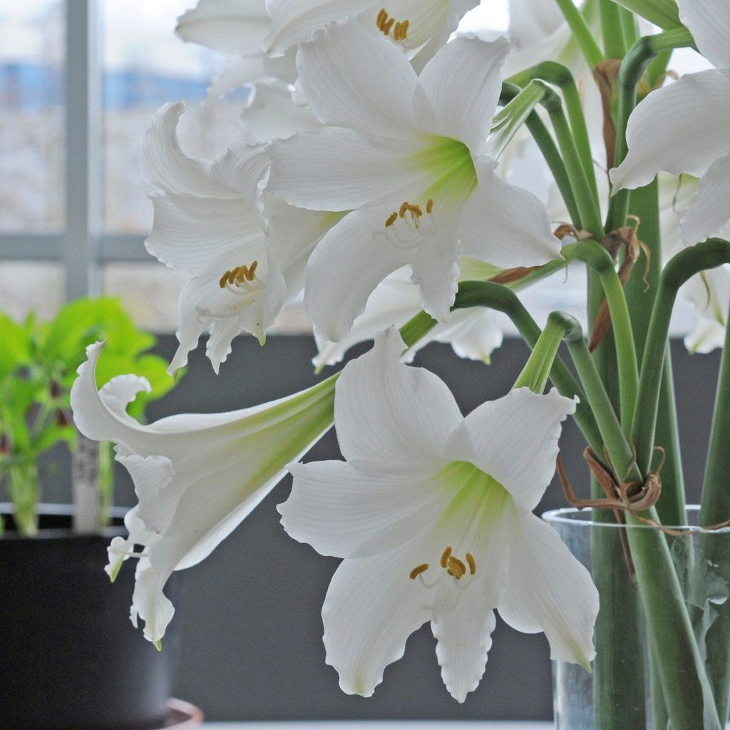 Die Amaryllis 'Amputo' leuchtet schneeweiß. Fluwel.de