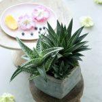 Alleskönner: Aloe ist Zimmerpflanze des Monats August