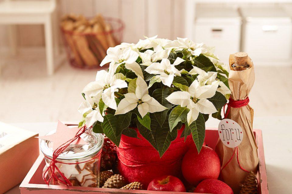 Welcher Weihnachtsstern ist der Beste?