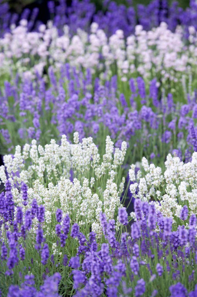 Lavendel im Kräutergarten Klostermühle