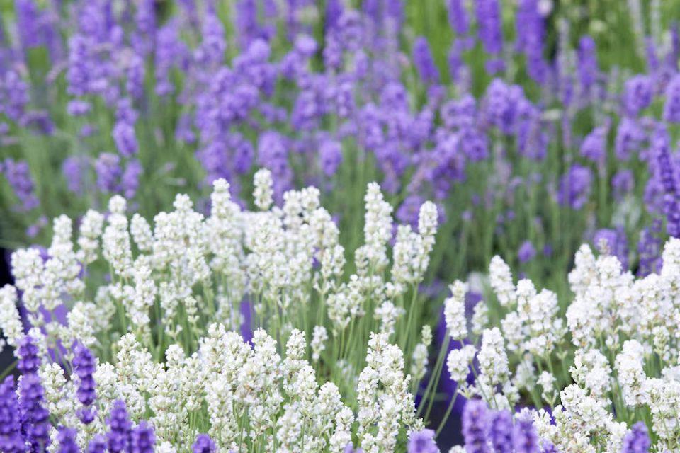 Direkt nach der Blüte: Lavendel zurückschneiden