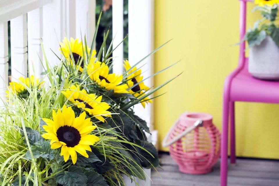 Sonnenblumen auf dem Balkon – so geht´s