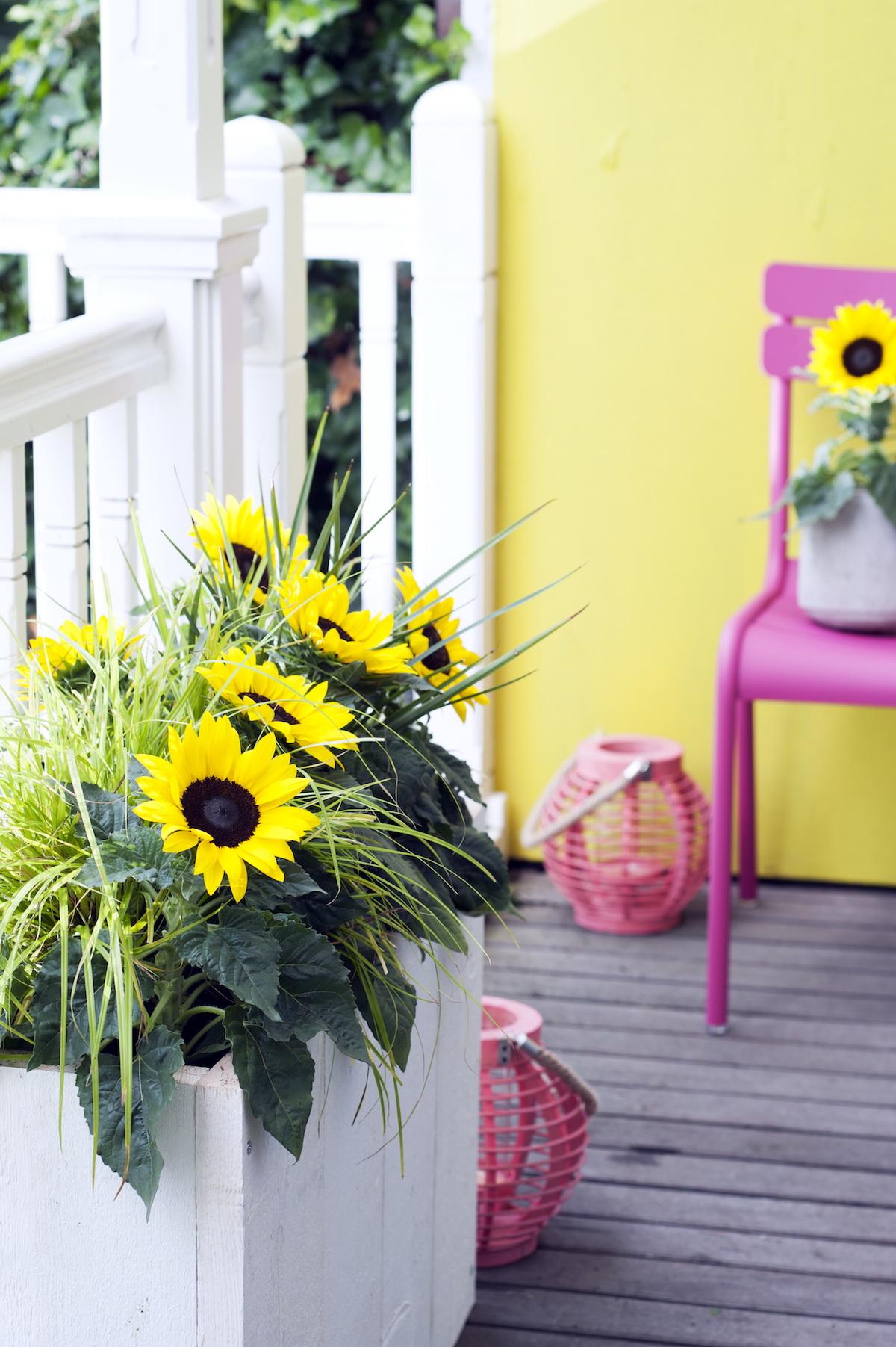 Sunsation Sonnenblume Balkon