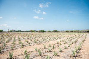 Aruba Aloe Vera